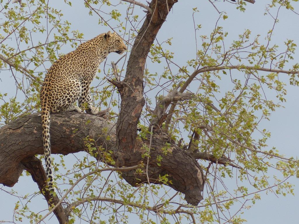 Leopard in Kruger National Park, South Africa.