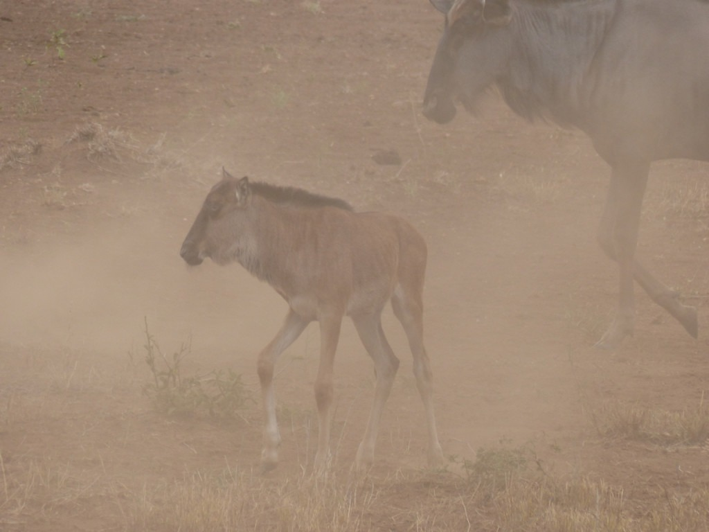 Blue Wildebeest baby in the drought