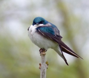 Tree Swallows nest on our farm at the river. This is a male guarding the nest.
