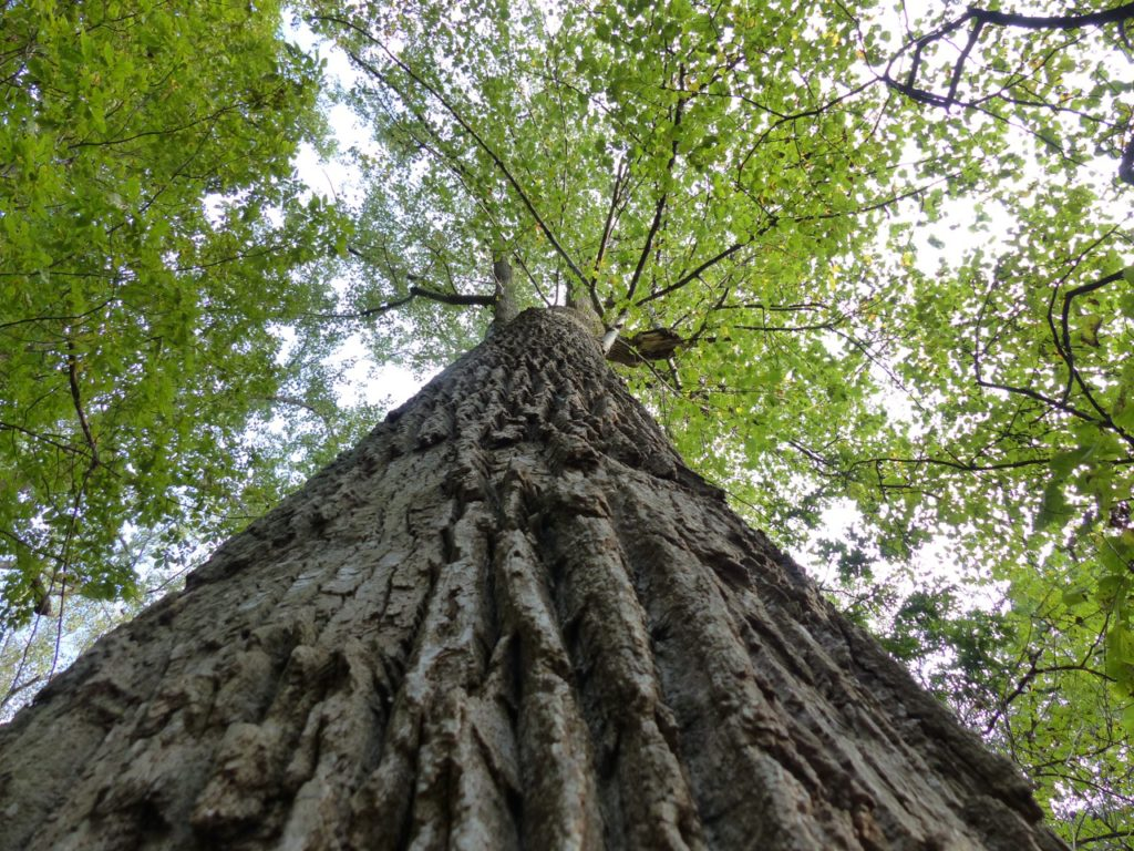 Old growth tulip poplar in the Landmark Forest of Montpelier