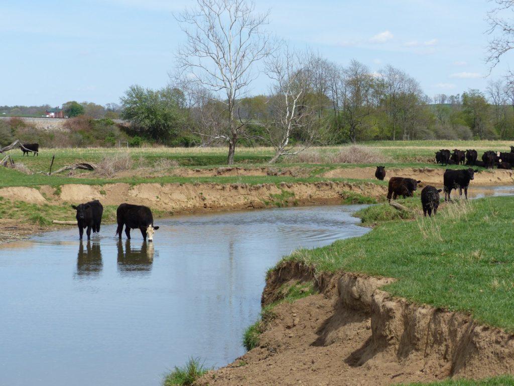 Cattle destroy streams