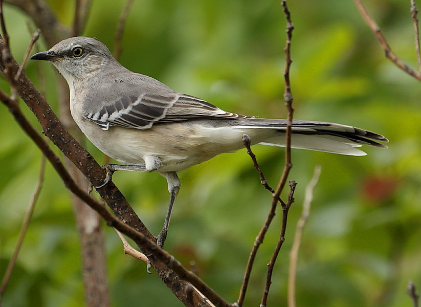 Northern Mockingbirds are often confused with Loggerhead Shrikes