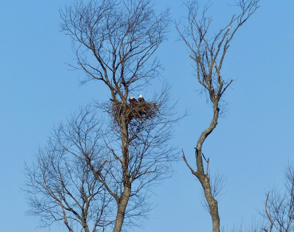 Bald Eagles of Swoope