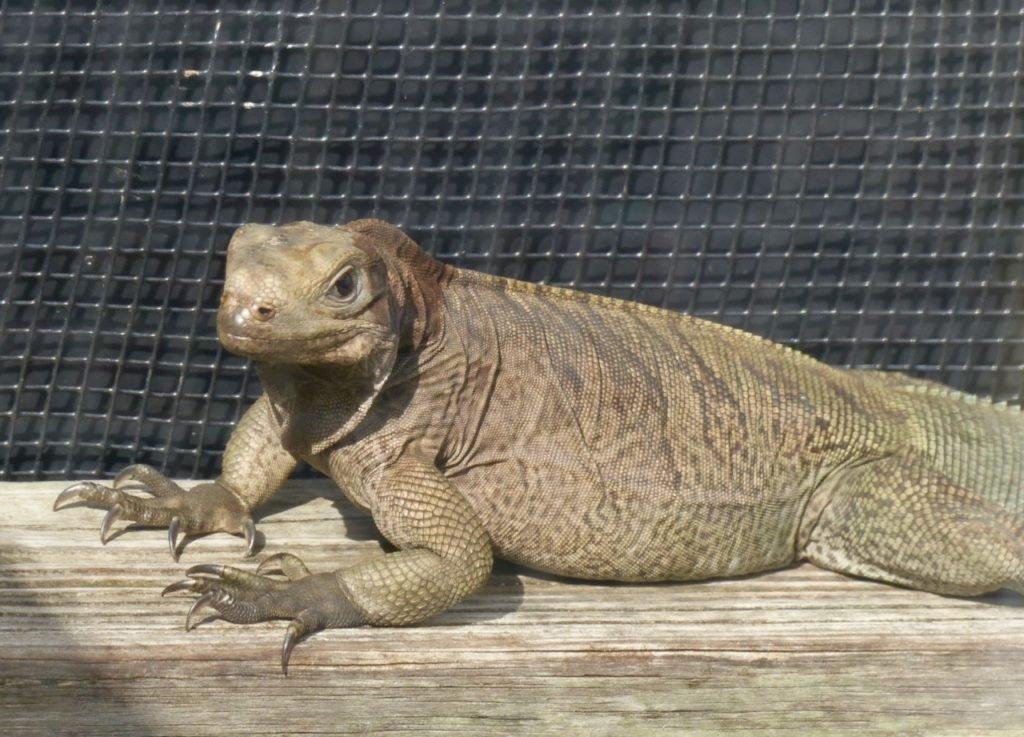 Anegada Rock Iguana